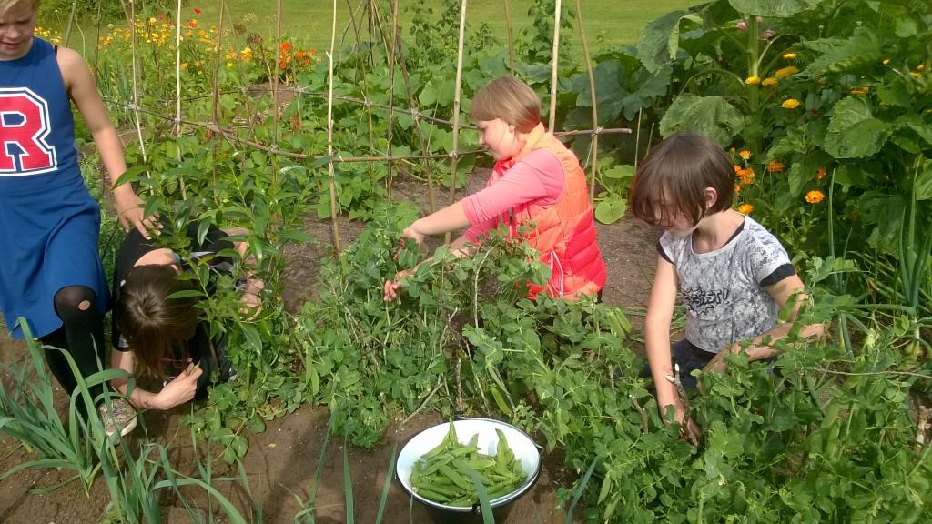 Børn på landet har ikke nødvendigvis forhorhåndskendskab til planter og haver ov viden om, hvor maden kommer fra. Foto: Randi Beirholm.